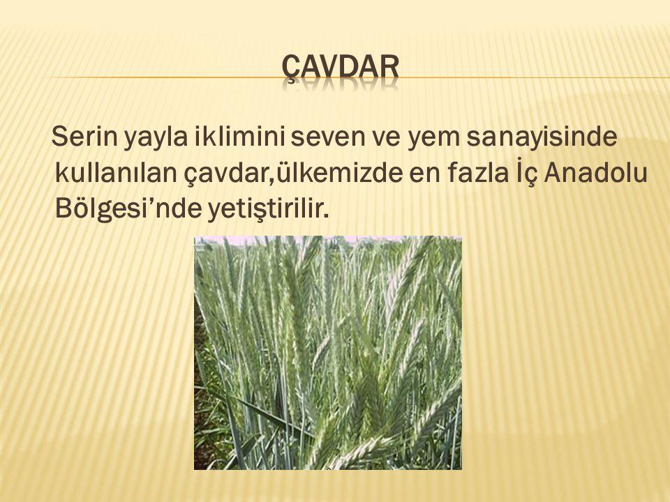 Serin yayla iklimini seven ve yem sanayisinde kullanılan çavdar,ülkemizde en fazla İç Anadolu Bölgesi'nde yetiştirilir.