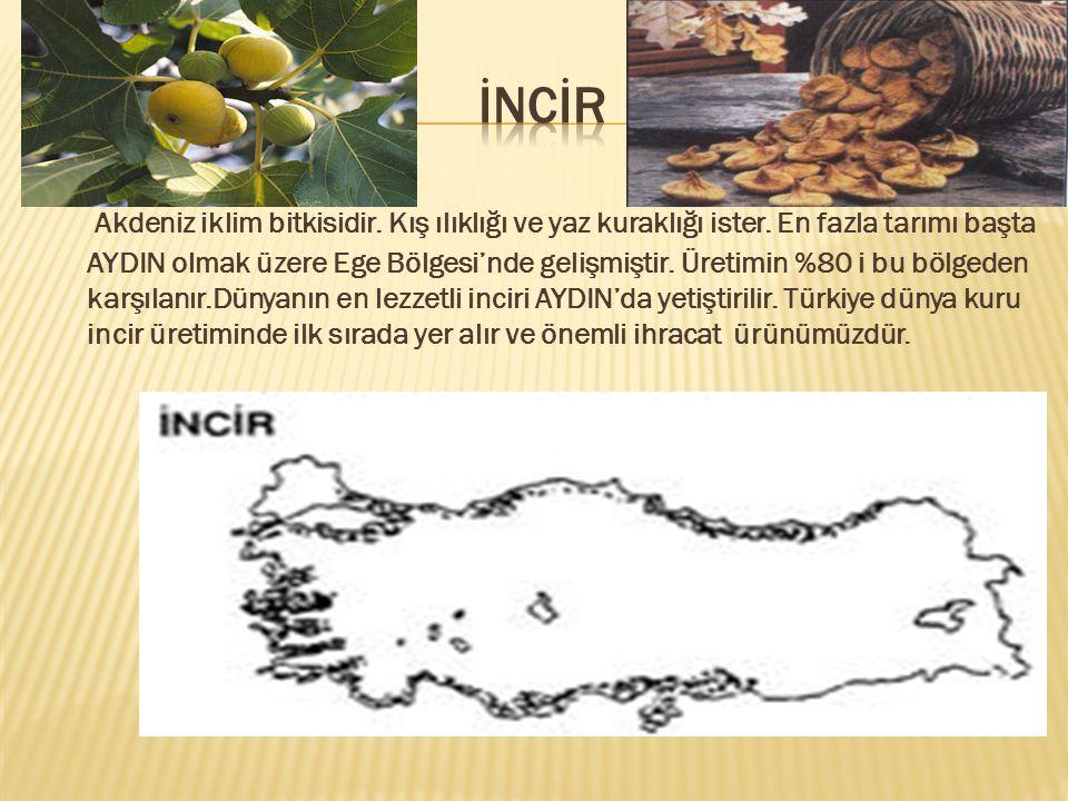 Akdeniz iklim bitkisidir.Kış ılıklığı ve yaz kuraklığı ister.