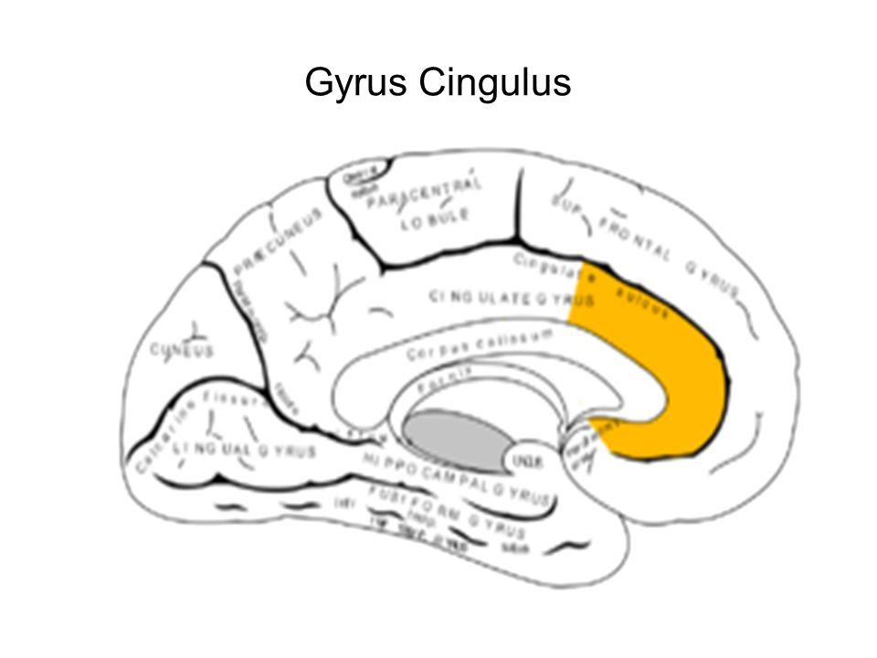 Gyrus Cingulus