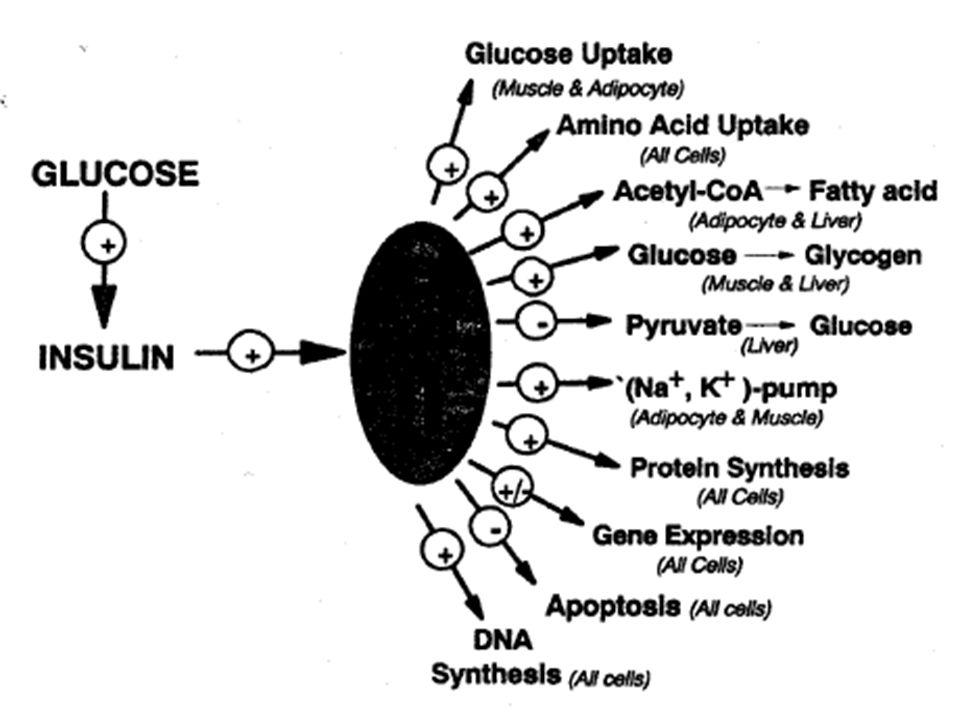 Karşıt/Zıt Etkili Düzenleyici Hormonlar Glikojenin glukoza parçalanmasını arttırarak ve sonra glukozun sentezini uyararak hepatik glukoz üretimini arttırırlar.