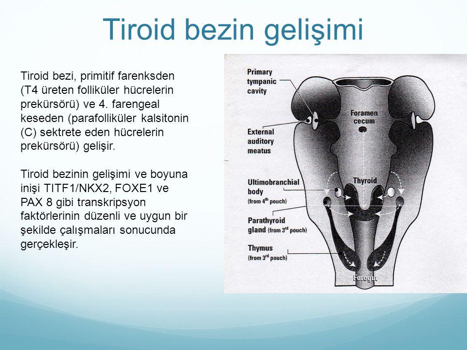 Tiroid bezi, primitif farenksden (T4 üreten folliküler hücrelerin prekürsörü) ve 4. farengeal keseden (parafolliküler kalsitonin (C) sektrete eden hüc