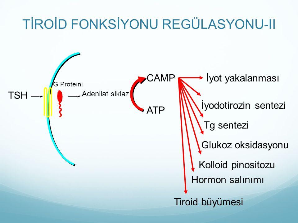 TİROİD FONKSİYONU REGÜLASYONU-II CAMP İyot yakalanması İyodotirozin sentezi Tg sentezi Glukoz oksidasyonu Kolloid pinositozu Hormon salınımı Tiroid b