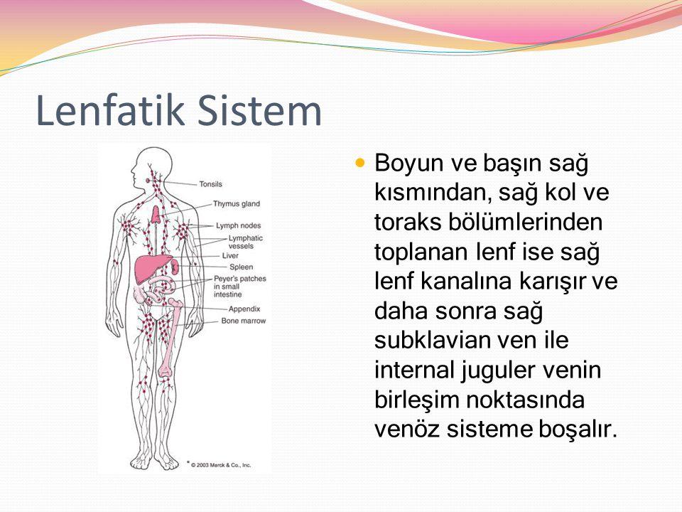 Lenfatik Sistem Boyun ve başın sağ kısmından, sağ kol ve toraks bölümlerinden toplanan lenf ise sağ lenf kanalına karışır ve daha sonra sağ subklavian