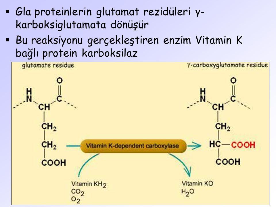  Gla proteinlerin glutamat rezidüleri γ- karboksiglutamata dönüşür  Bu reaksiyonu gerçekleştiren enzim Vitamin K bağlı protein karboksilaz