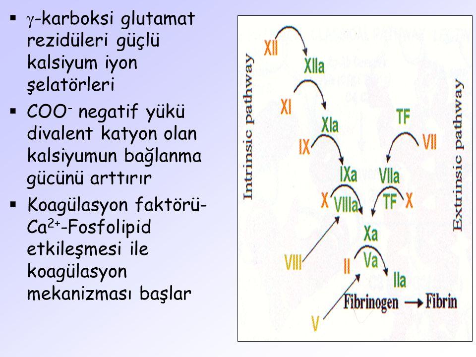   -karboksi glutamat rezidüleri güçlü kalsiyum iyon şelatörleri  COO - negatif yükü divalent katyon olan kalsiyumun bağlanma gücünü arttırır  Koag