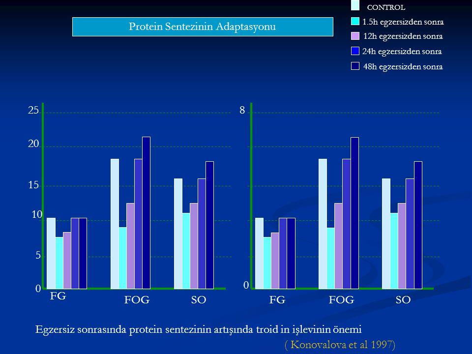 Protein Sentezinin Adaptasyonu 0 5 10 15 20 258 0 CONTROL 1.5h egzersizden sonra 12h egzersizden sonra 24h egzersizden sonra 48h egzersizden sonra FG