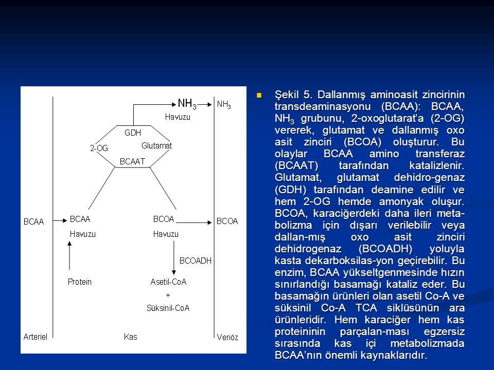 Şekil 5. Dallanmış aminoasit zincirinin transdeaminasyonu (BCAA): BCAA, NH 3 grubunu, 2-oxoglutarat'a (2-OG) vererek, glutamat ve dallanmış oxo asit z