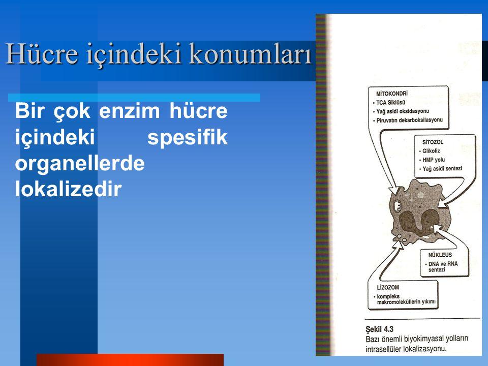 Hücre içindeki konumları Bir çok enzim hücre içindeki spesifik organellerde lokalizedir