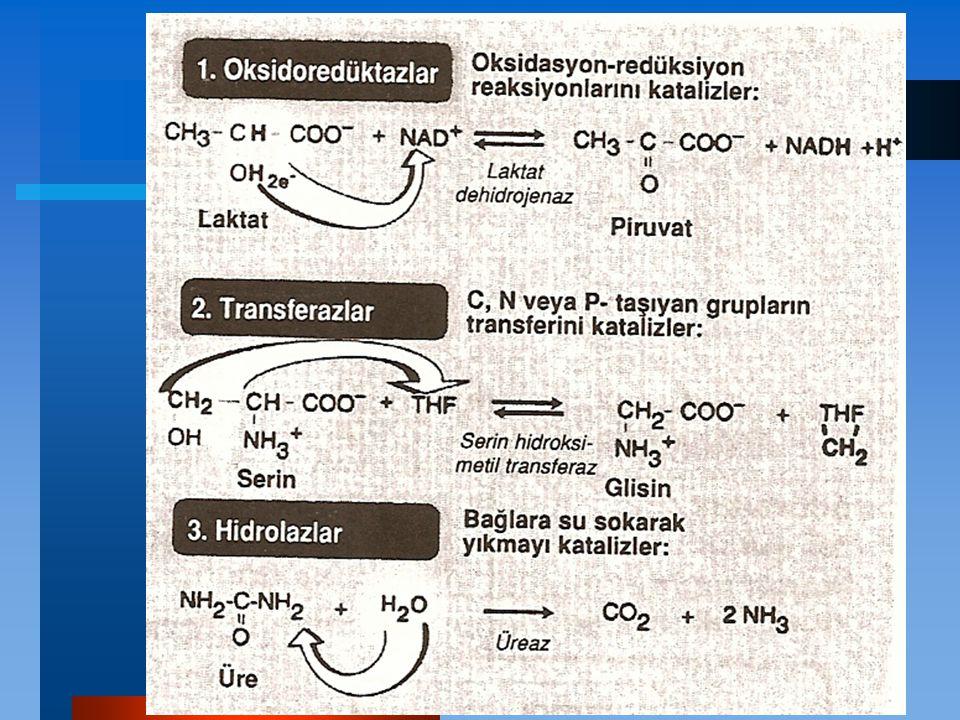 DNA ligaz: Tek polipeptid zincirinden ibarettir.Prokaryot ve ökaryotlarda bulunur.