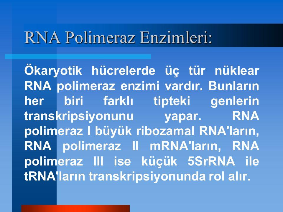 RNA Polimeraz Enzimleri: Ökaryotik hücrelerde üç tür nüklear RNA polimeraz enzimi vardır. Bunların her biri farklı tipteki genlerin transkripsiyonunu
