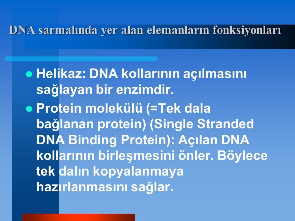 Helikaz: DNA kollarının açılmasını sağlayan bir enzimdir. Protein molekülü (=Tek dala bağlanan protein) (Single Stranded DNA Binding Protein): Açılan