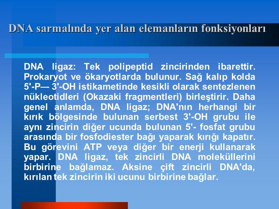 DNA ligaz: Tek polipeptid zincirinden ibarettir. Prokaryot ve ökaryotlarda bulunur. Sağ kalıp kolda 5'-P 3'-OH istikametinde kesikli olarak sentezlene