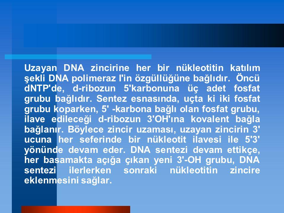Uzayan DNA zincirine her bir nükleotitin katılım şekli DNA polimeraz I'in özgüllüğüne bağlıdır. Öncü dNTP'de, d-ribozun 5'karbonuna üç adet fosfat gr