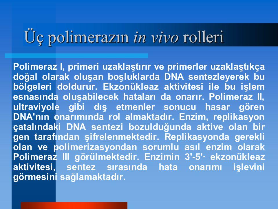 Üç polimerazın in vivo rolleri Polimeraz I, primeri uzaklaştırır ve primerler uzaklaştıkça doğal olarak oluşan boşluklarda DNA sentezleyerek bu bölgel
