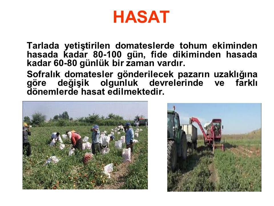 HASAT Tarlada yetiştirilen domateslerde tohum ekiminden hasada kadar 80-100 gün, fide dikiminden hasada kadar 60-80 günlük bir zaman vardır.