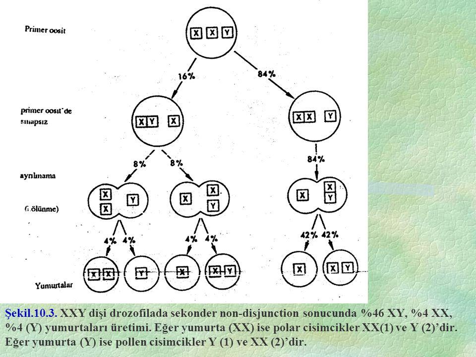 Şekil.10.3. XXY dişi drozofilada sekonder non-disjunction sonucunda %46 XY, %4 XX, %4 (Y) yumurtaları üretimi. Eğer yumurta (XX) ise polar cisimcikler