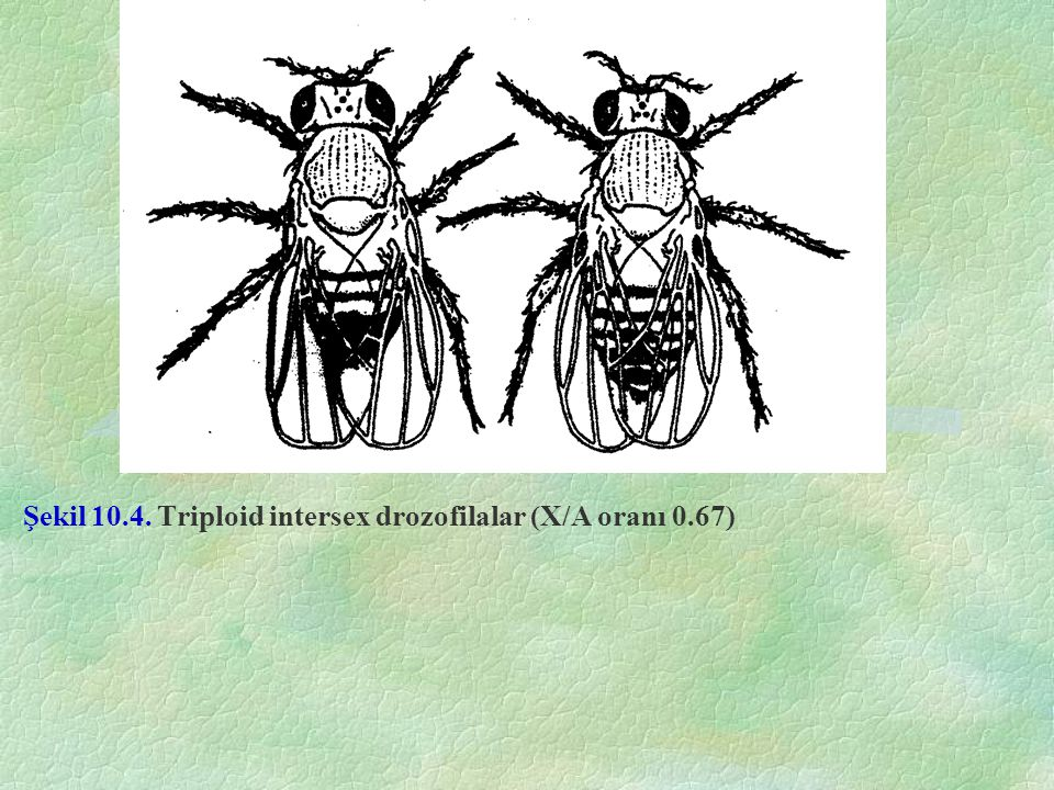 Şekil 10.4. Triploid intersex drozofilalar (X/A oranı 0.67)