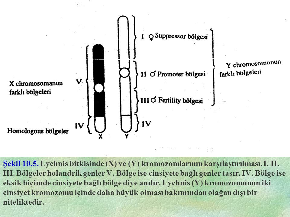 Şekil 10.5. Lychnis bitkisinde (X) ve (Y) kromozomlarının karşılaştırılması. I. II. III. Bölgeler holandrik genler V. Bölge ise cinsiyete bağlı genler