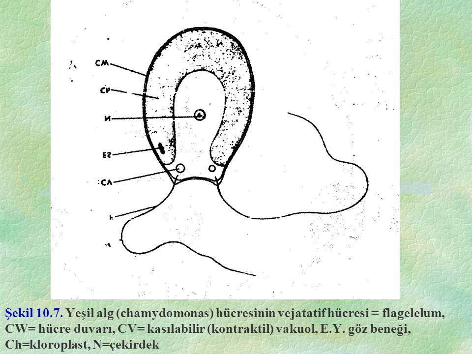 Şekil 10.7. Yeşil alg (chamydomonas) hücresinin vejatatif hücresi = flagelelum, CW= hücre duvarı, CV= kasılabilir (kontraktil) vakuol, E.Y. göz beneği