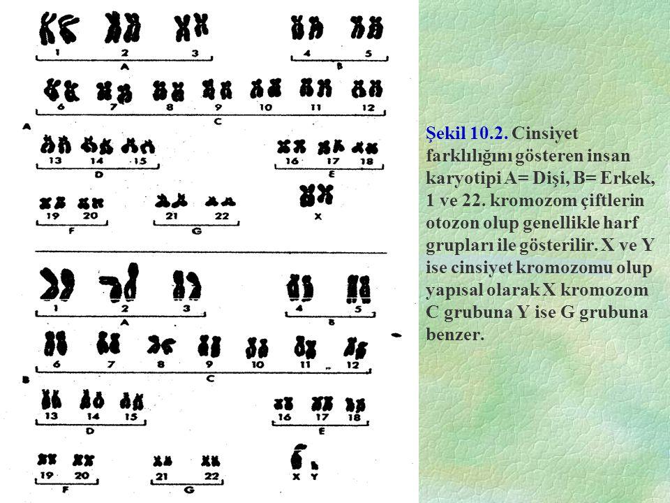 Şekil 10.2. Cinsiyet farklılığını gösteren insan karyotipi A= Dişi, B= Erkek, 1 ve 22. kromozom çiftlerin otozon olup genellikle harf grupları ile gös