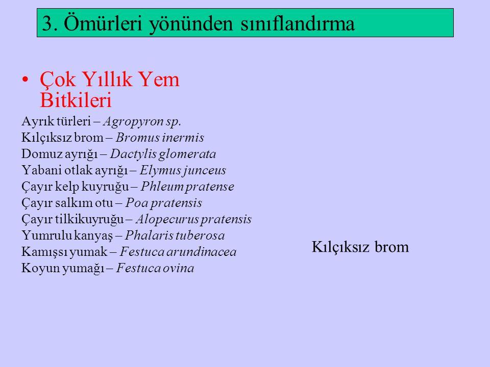 3. Ömürleri yönünden sınıflandırma Çok Yıllık Yem Bitkileri Ayrık türleri – Agropyron sp. Kılçıksız brom – Bromus inermis Domuz ayrığı – Dactylis glom