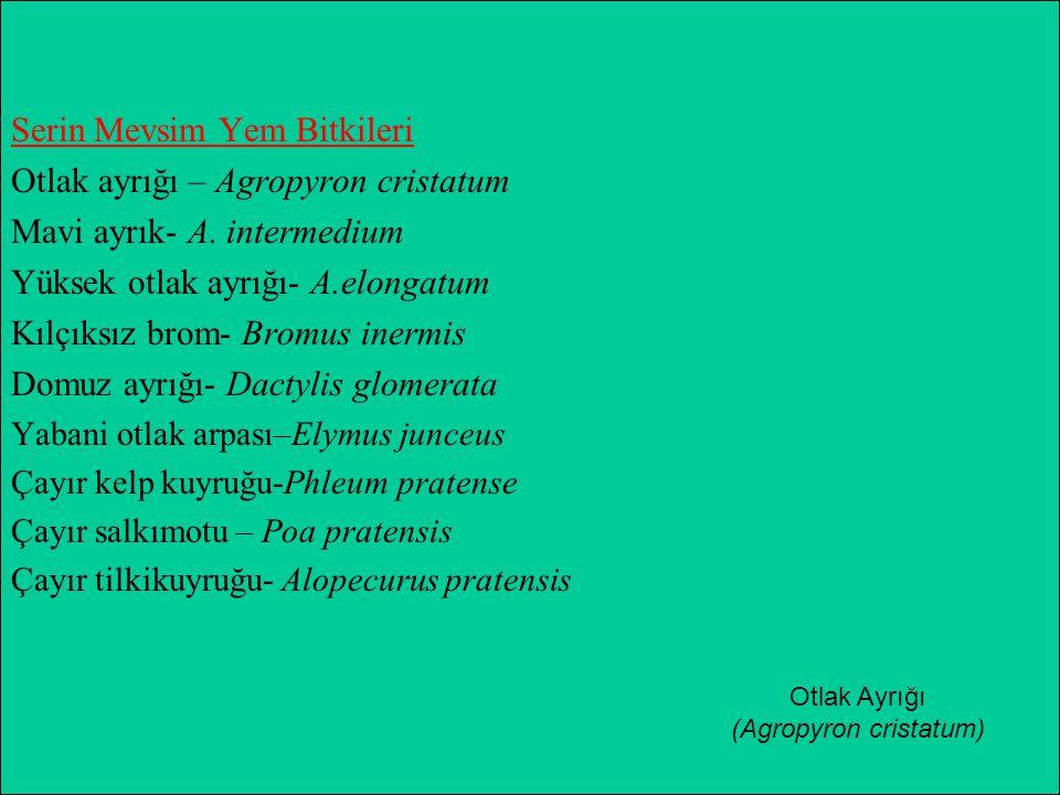 Serin Mevsim Yem Bitkileri Otlak ayrığı – Agropyron cristatum Mavi ayrık- A. intermedium Yüksek otlak ayrığı- A.elongatum Kılçıksız brom- Bromus inerm