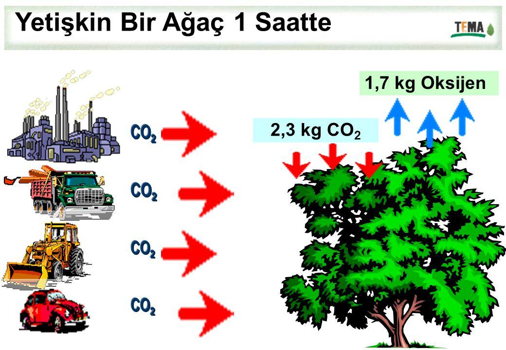 1,7 kg Oksijen 2,3 kg CO 2 Yetişkin Bir Ağaç 1 Saatte