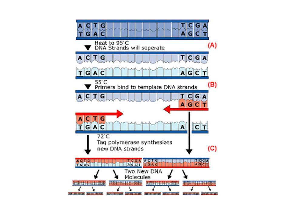 PCR KULLANIM ALANLARI Kalıtsal hastalıklarda taşıyıcının ve hastanın tanısında, prenatal tanıda, klinik örneklerde patojen organizmaların saptanmasında, adli tıpta, onkogenesisin araştırılmasında, probe larin oluşturulmasında / klonlamada / gen ekspresyon araştırmalarında, DNA dizi analizinde, büyük miktarda DNA örneklerinin oluşturulmasında, bilinmeyen dizilerin belirlenmesinde, geçmiş DNA nin incelenmesi ve evrimin aydınlanmasında, Restriksiyon Fragment Length Polimorfizm (RFLP) Analizinde, Invitro fertilizasyon yapılan tek hücrede, implantasyon öncesi genetik testlerin yapılması ve sonra implantasyon gerçekleştirilmesi ile bebeğin normal doğmasının sağlanması, DNA protein interaksiyonunun araştırılmasında (footprinting) kullanılabilir.