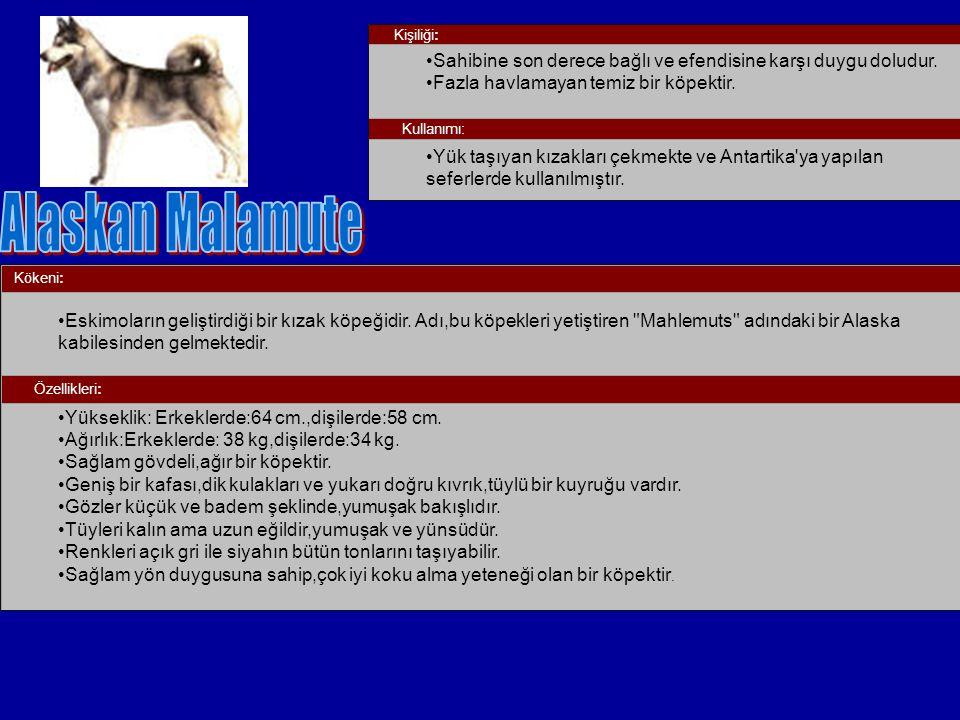 Kökeni: Eskimoların geliştirdiği bir kızak köpeğidir. Adı,bu köpekleri yetiştiren