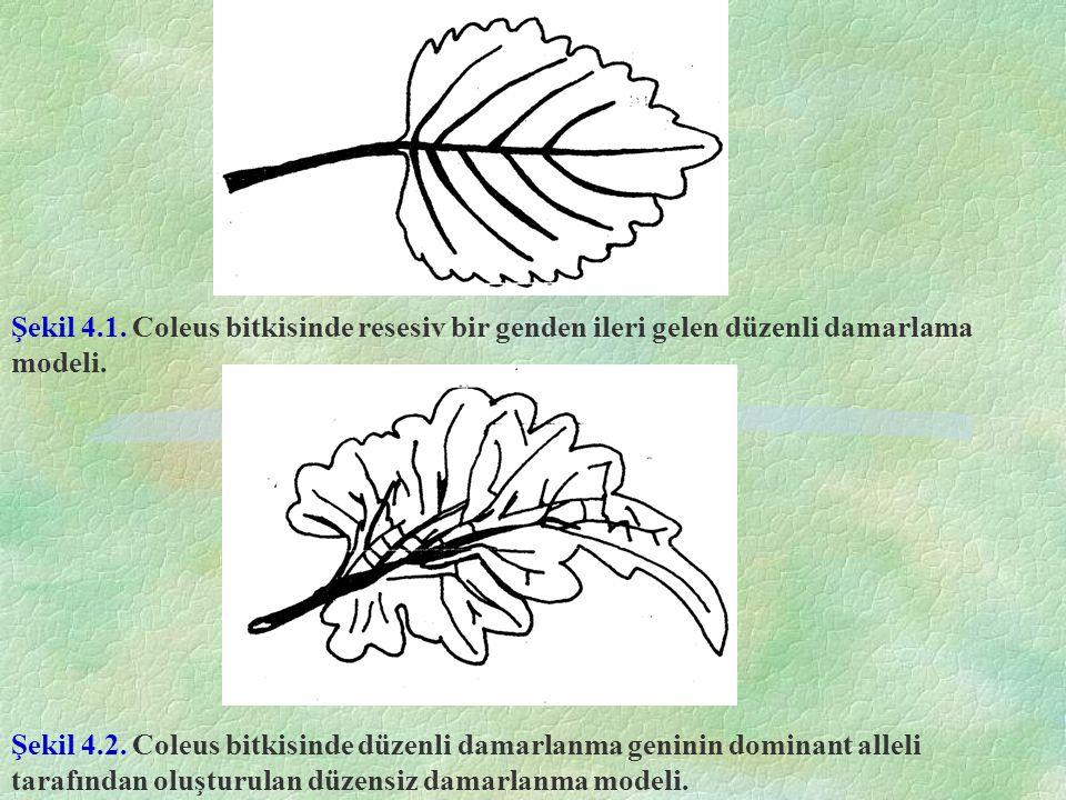 Şekil 4.1. Coleus bitkisinde resesiv bir genden ileri gelen düzenli damarlama modeli. Şekil 4.2. Coleus bitkisinde düzenli damarlanma geninin dominant