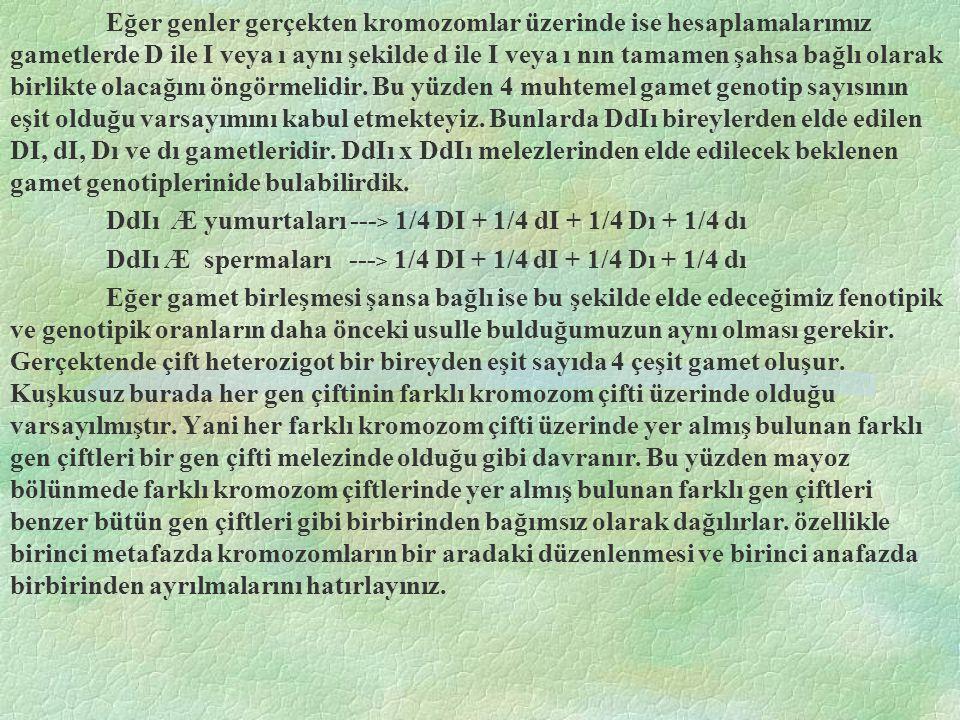 Eğer genler gerçekten kromozomlar üzerinde ise hesaplamalarımız gametlerde D ile I veya ı aynı şekilde d ile I veya ı nın tamamen şahsa bağlı olarak b