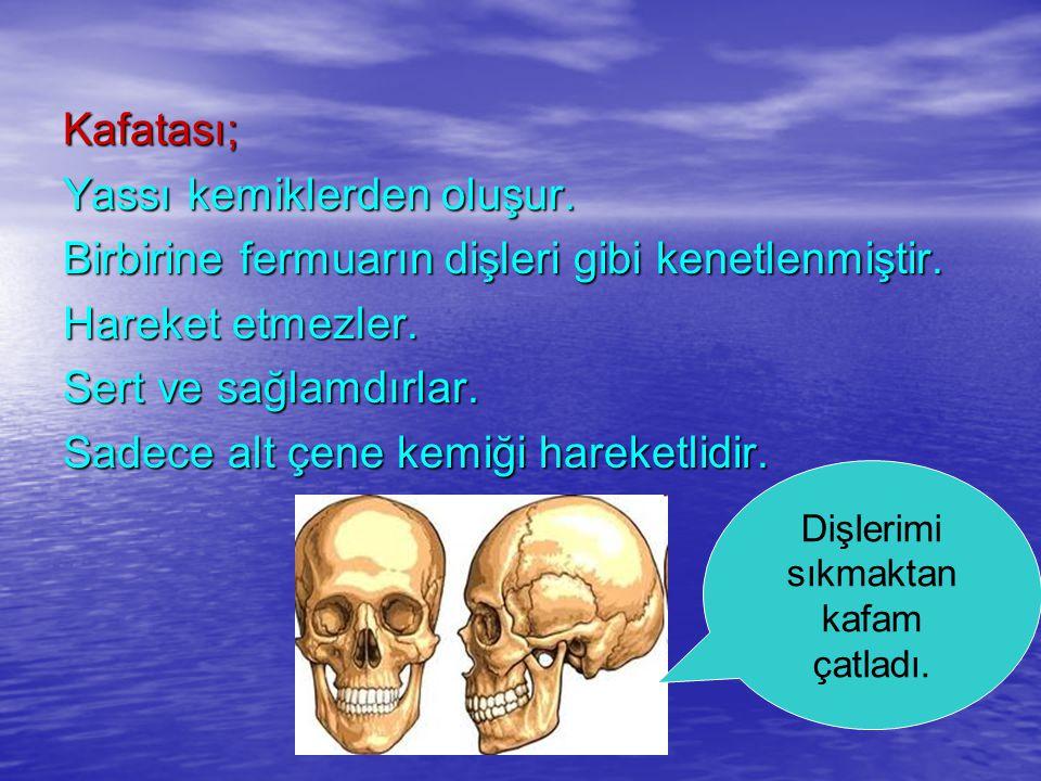 Kafatası; Yassı kemiklerden oluşur. Birbirine fermuarın dişleri gibi kenetlenmiştir. Hareket etmezler. Sert ve sağlamdırlar. Sadece alt çene kemiği ha