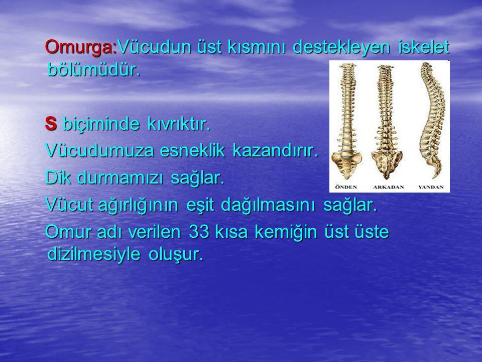 Omurga:Vücudun üst kısmını destekleyen iskelet bölümüdür. Omurga:Vücudun üst kısmını destekleyen iskelet bölümüdür. S biçiminde kıvrıktır. S biçiminde
