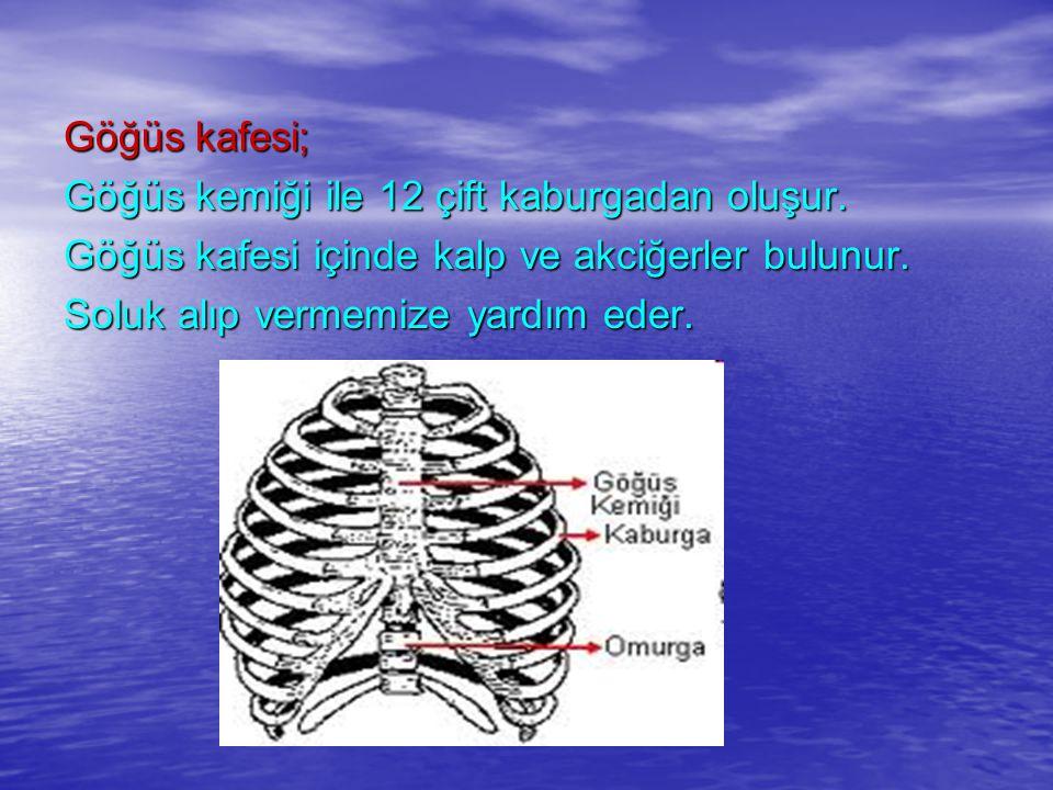 Göğüs kafesi; Göğüs kemiği ile 12 çift kaburgadan oluşur. Göğüs kafesi içinde kalp ve akciğerler bulunur. Soluk alıp vermemize yardım eder.