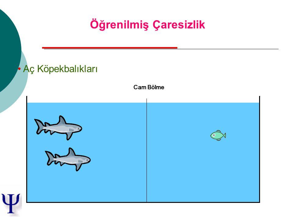 Aç Köpekbalıkları Cam Bölme Öğrenilmiş Çaresizlik