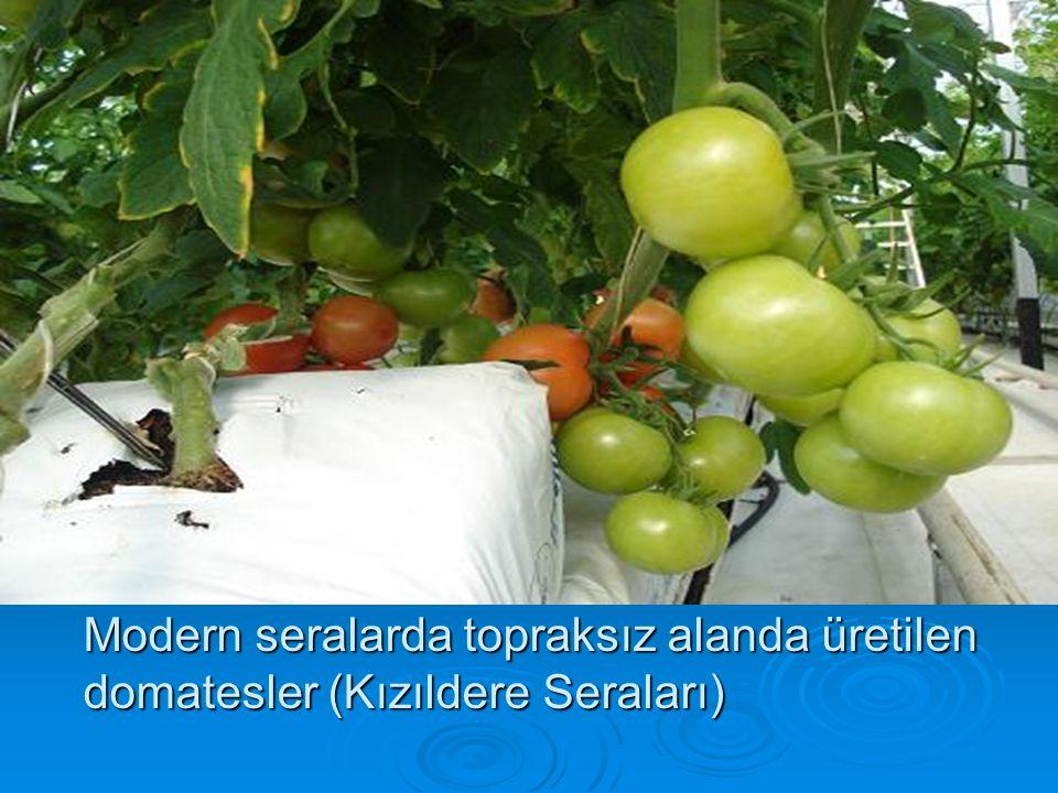Modern seralarda topraksız alanda üretilen domatesler (Kızıldere Seraları)