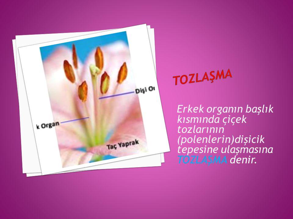 Erkek organın başlık kısmında çiçek tozlarının (polenlerin)dişicik tepesine ulaşmasına TOZLAŞMA denir.