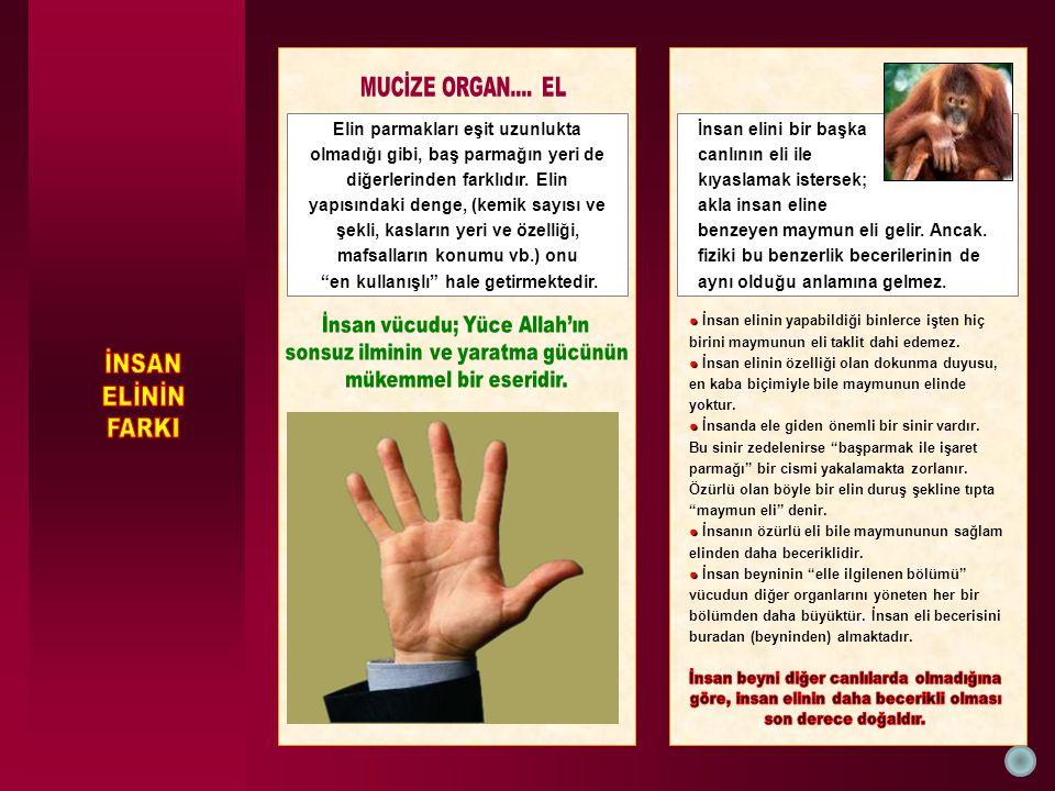 Elin parmakları eşit uzunlukta olmadığı gibi, baş parmağın yeri de diğerlerinden farklıdır. Elin yapısındaki denge, (kemik sayısı ve şekli, kasların y