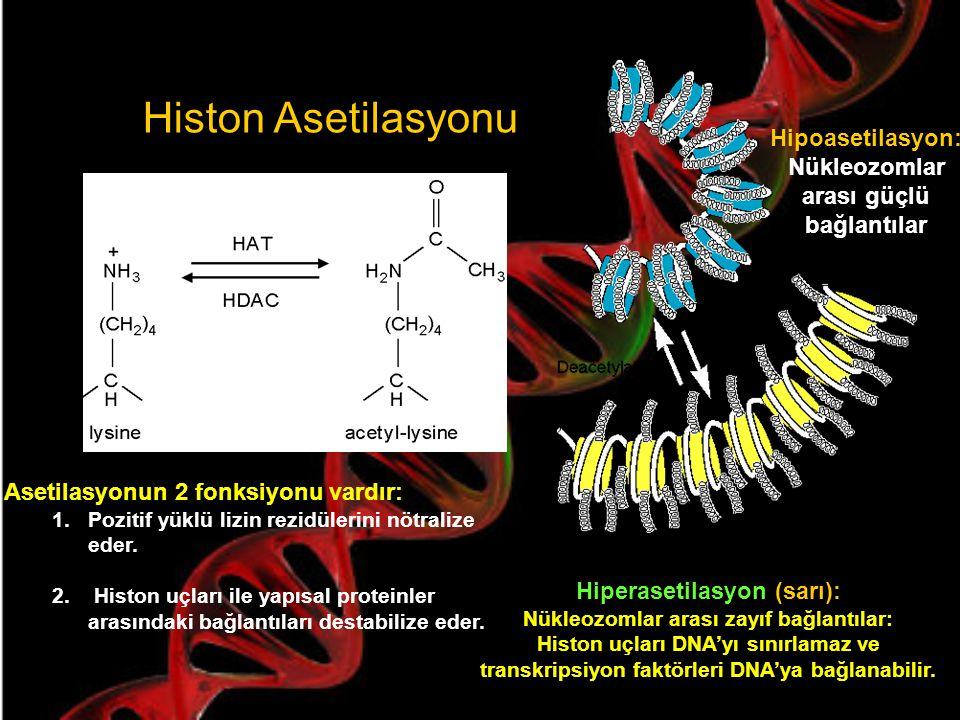 A. Histon Modifikasyonları 1.Histon asetilasyonu / deasetilasyonu 2.Histon metilasyonu 3.Serin veya treoninlerin fosforilasyonu 4.Glutamik asitlerin A