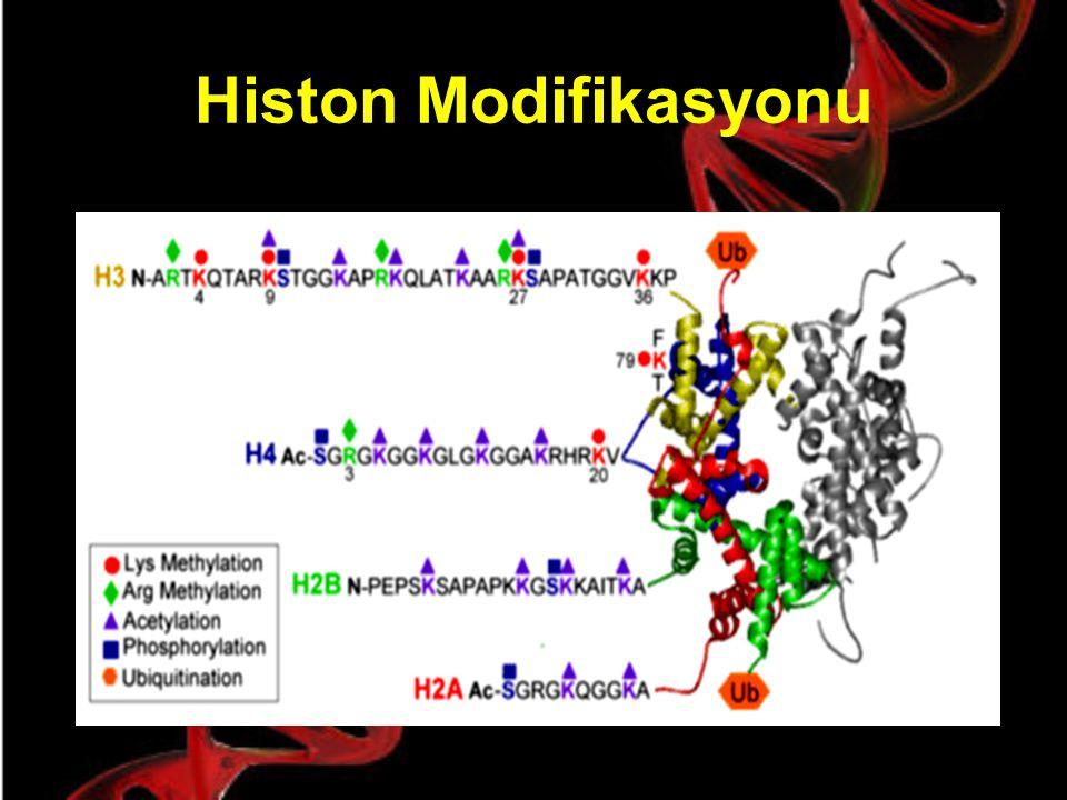 Histon Asetilasyonu Hipoasetilasyon: Nükleozomlar arası güçlü bağlantılar Hiperasetilasyon (sarı): Nükleozomlar arası zayıf bağlantılar: Histon uçları