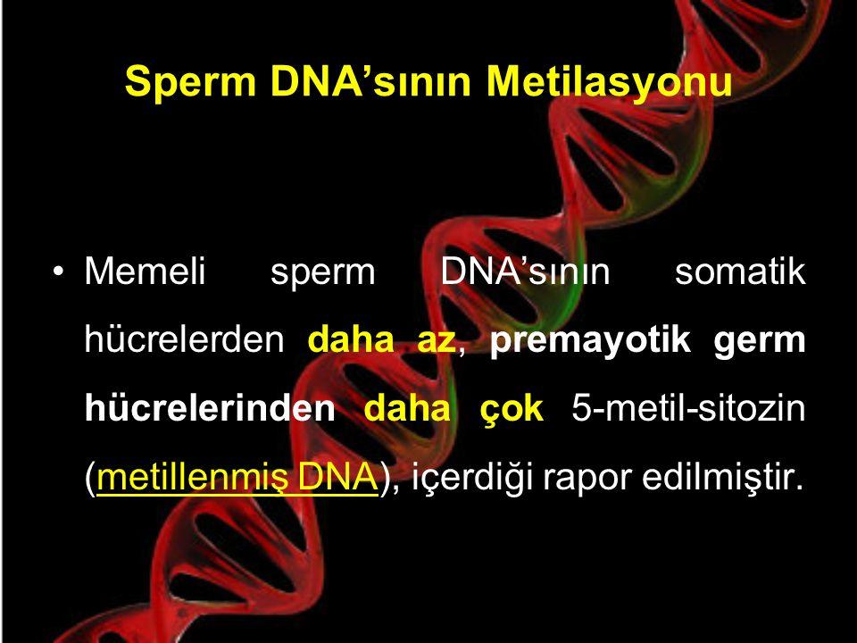 DNA metilasyonu ne zaman meydana gelir ? Bazı testise özgü tek kopya genler (fosfogliserat kinaz-2, transisyon protein 1) spermatogenez boyunca ekspre