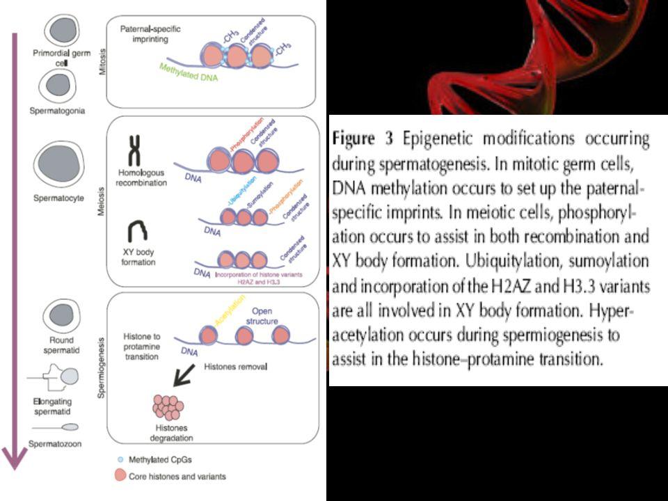 Metilasyonu ve spermatogenez ilişkisi Erkek üreme sisteminin gelişiminde ve spermatogenezi etkileyebilen genlerin ifadesinde DNA metilasyonunun rolü, metilasyon bozukluklarının infertilitedeki önemine dikkat çekmektedir.