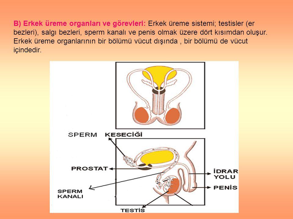 B) Erkek üreme organları ve görevleri: Erkek üreme sistemi; testisler (er bezleri), salgı bezleri, sperm kanalı ve penis olmak üzere dört kısımdan oluşur.