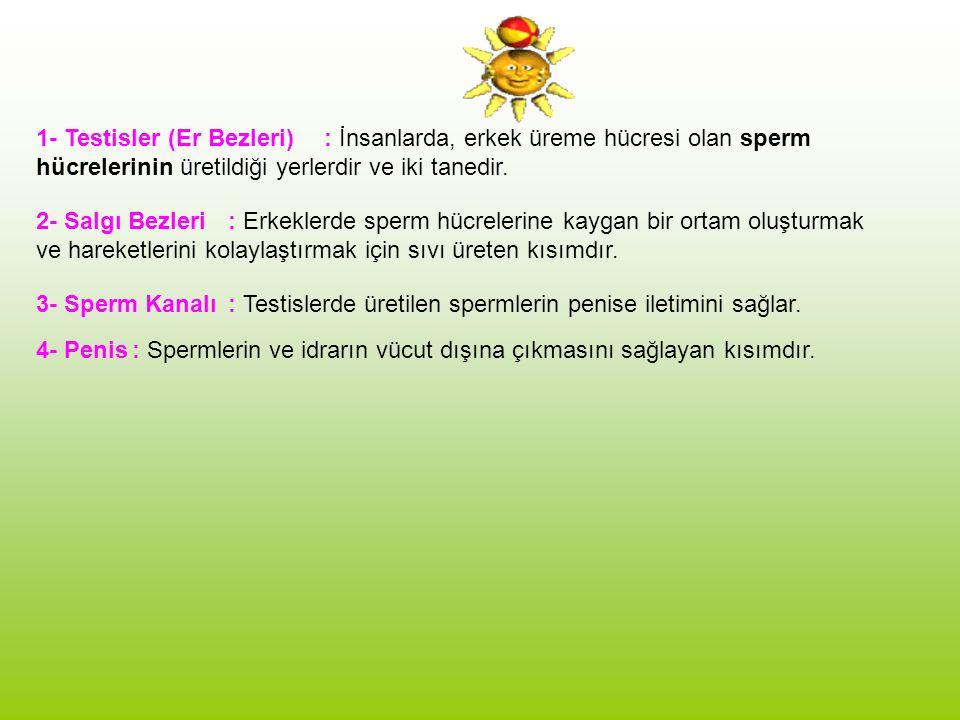 1- Testisler (Er Bezleri): İnsanlarda, erkek üreme hücresi olan sperm hücrelerinin üretildiği yerlerdir ve iki tanedir.