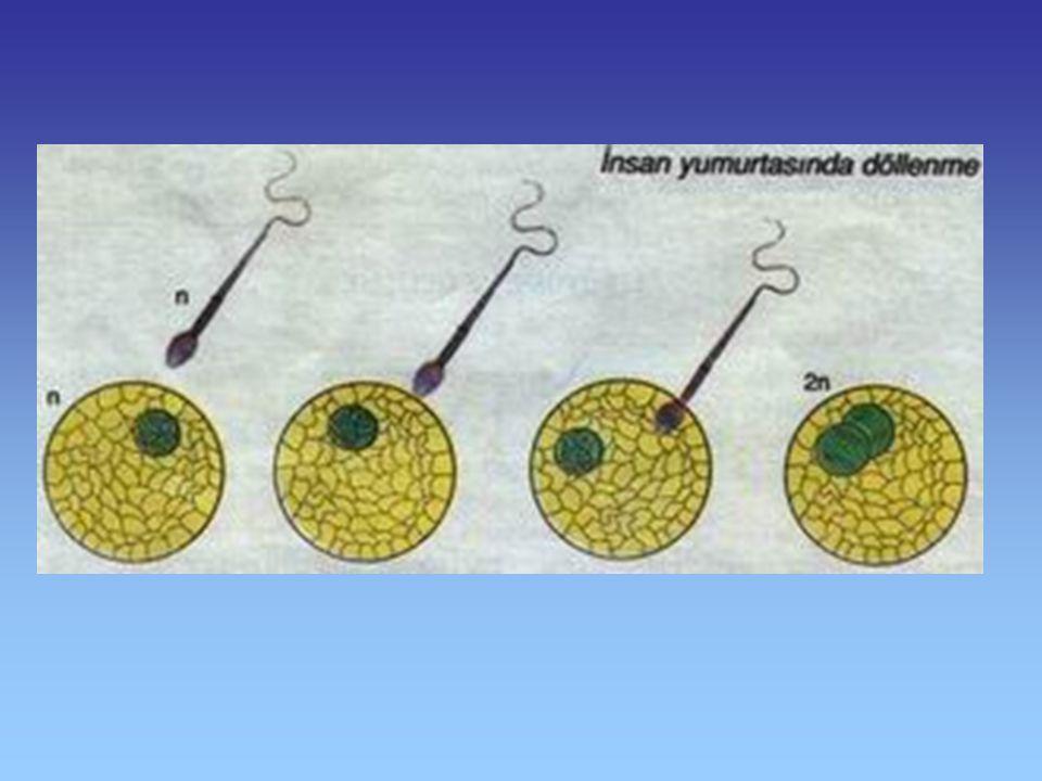 B- Serüvene İlk Adım: Üreme Hücrelerinin Birleşmesi (Döllenme) Döllenme Döllenmiş yumurta (Zigot)