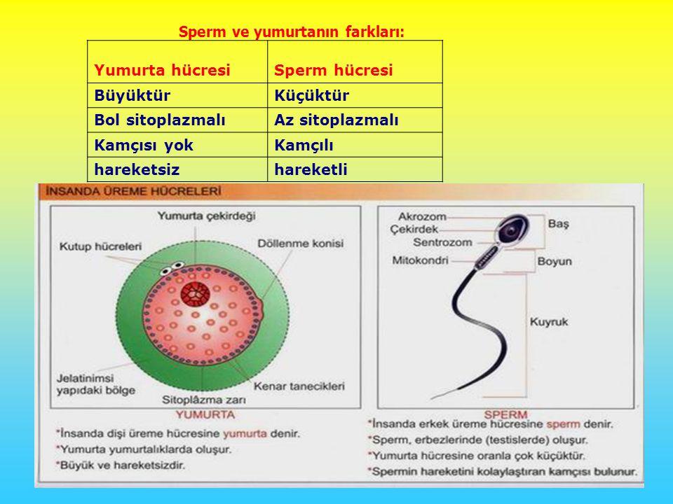 Sperm ve yumurtanın farkları: Yumurta hücresiSperm hücresi BüyüktürKüçüktür Bol sitoplazmalıAz sitoplazmalı Kamçısı yokKamçılı hareketsizhareketli