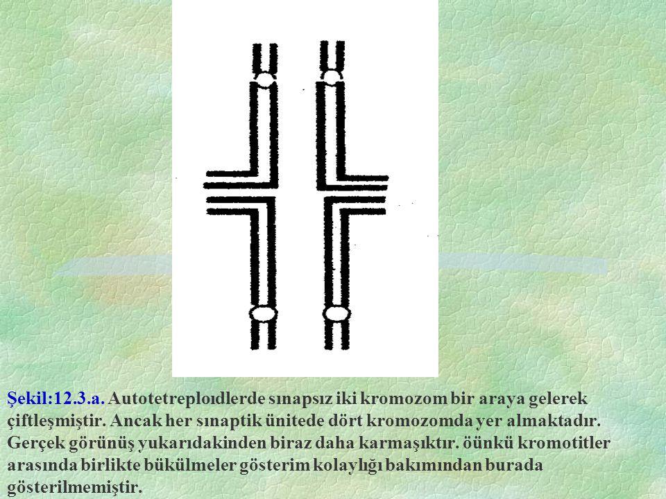 Şekil:12.3.a. Autotetreploıdlerde sınapsız iki kromozom bir araya gelerek çiftleşmiştir. Ancak her sınaptik ünitede dört kromozomda yer almaktadır. Ge