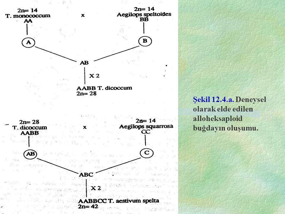Şekil 12.4.a. Deneysel olarak elde edilen alloheksaploid buğdayın oluşumu.