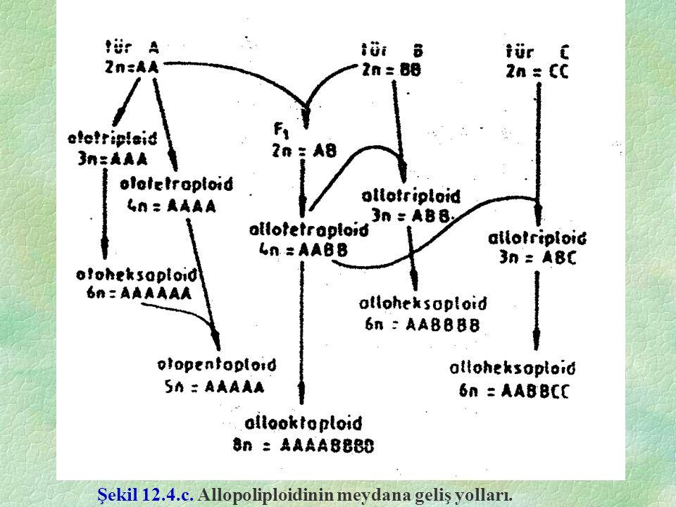 Şekil 12.4.c. Allopoliploidinin meydana geliş yolları.