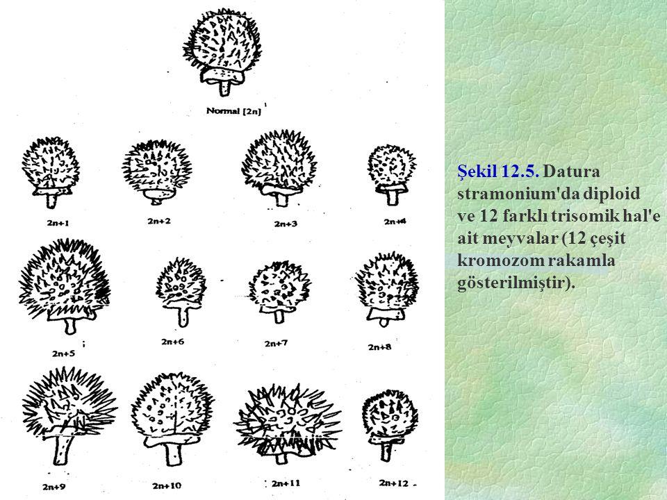 Şekil 12.5. Datura stramonium'da diploid ve 12 farklı trisomik hal'e ait meyvalar (12 çeşit kromozom rakamla gösterilmiştir).